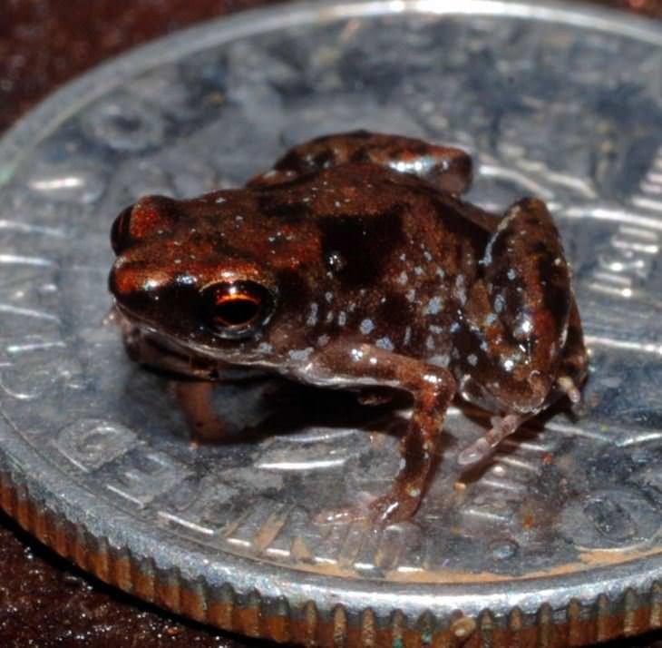 בעלי חיים קטנים: הצפרדע הקטנה בעולם Paedophryne Amauensis