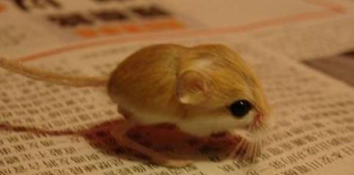 בעלי חיים קטנים: ירבוע ננסי