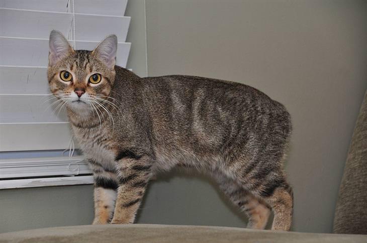 איך לבחור חתול לאימוץ: חתול מנקס