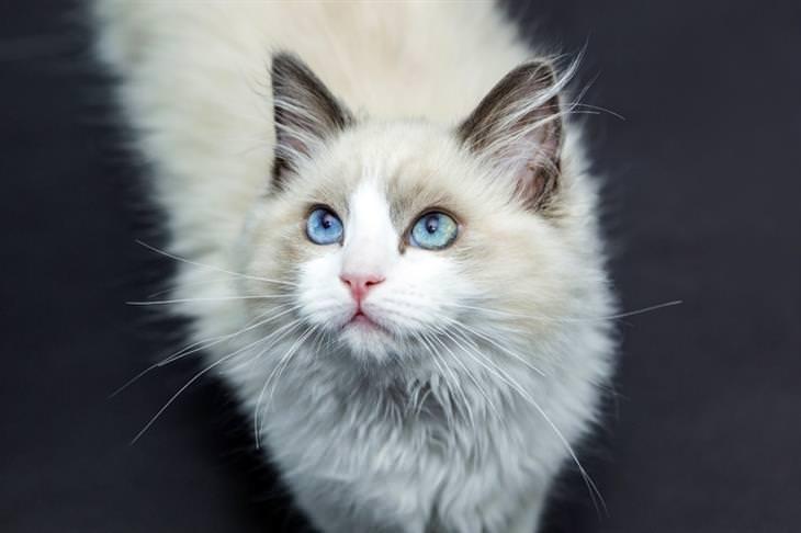 איך לבחור חתול לאימוץ: חתול רגדול