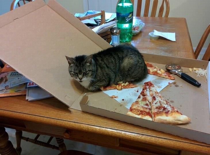 כלבים וחתולים שישכיחו מכם את כל הצרות שלכם: חתול יושב על משולש פיצה