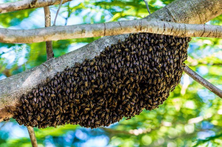 מגן דבורים אדום: נחיל דבורים