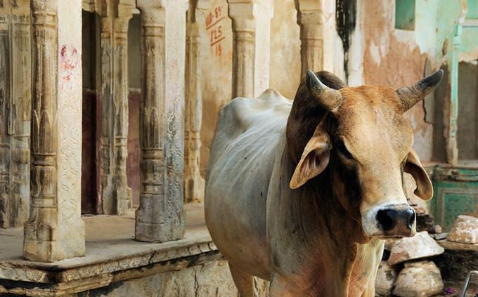 טריוויה תרבות ומקומות בעולם: פרה