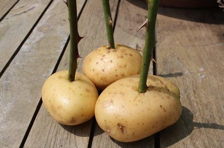 טיפים לגינון: ענפי ורד נעוצים בתוך תפוח אדמה