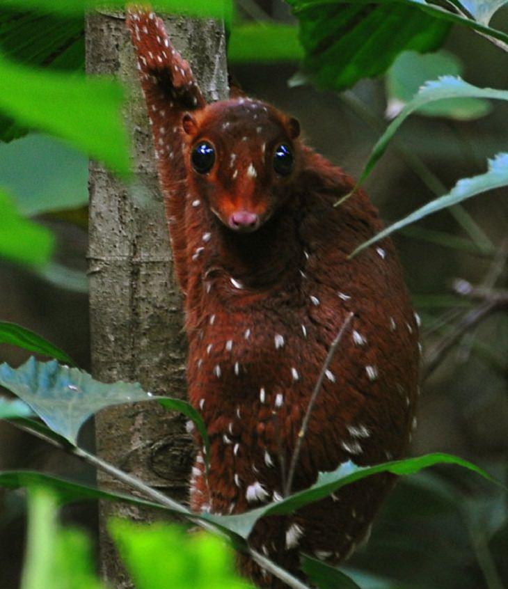 חיות מוזרות: למור הסונדה המעופף