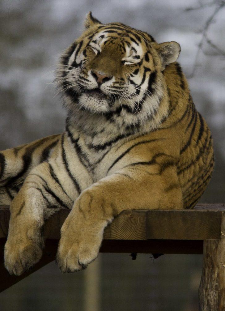 חיות מחייכות: טיגריס מחייך