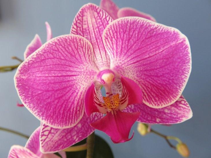 פרחים בעלי מראה משונה: סחלב הפרפר