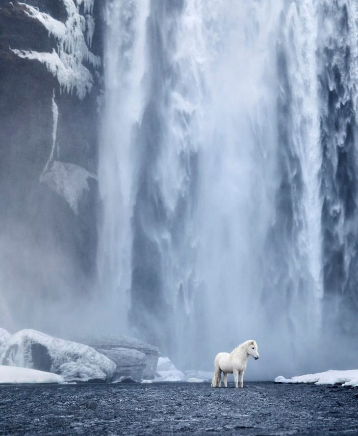 סוסי הפרא באיסלנד