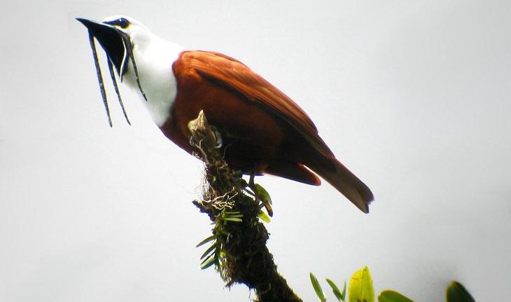 ציפורים יפות: פעמונית תלת-סבכה (Three-wattled Bellbird)