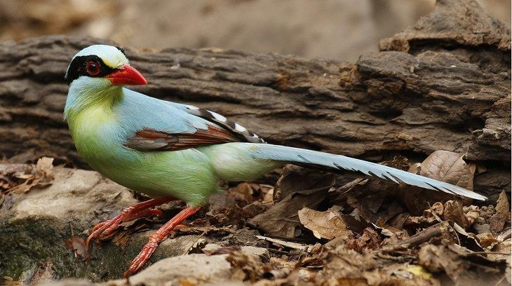 ציפורים יפות: עקעק ירוק מצוי (Common Green Magpie)