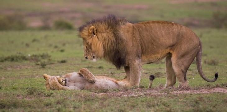 תמונות מצחיקות של חיות: אריה ולביאה