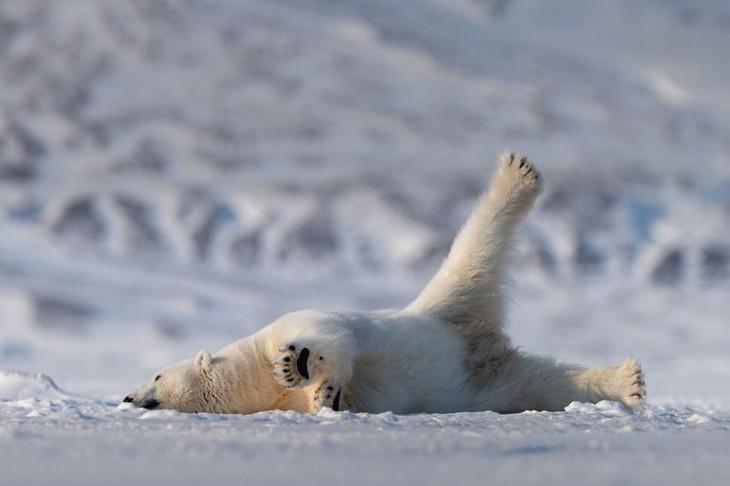 תמונות מצחיקות של חיות: דוב קוטב מתמתח בשלג