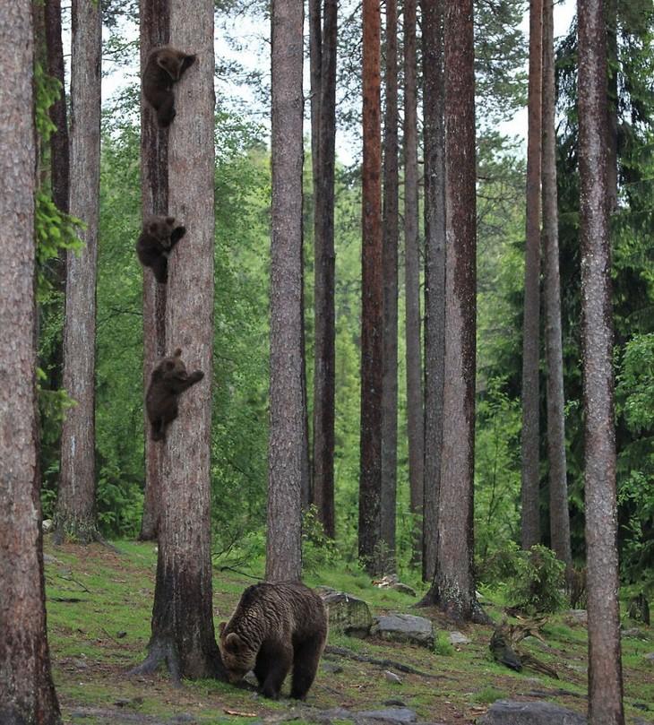 תמונות מצחיקות של חיות: גורי דובים מתחבאים על עץ