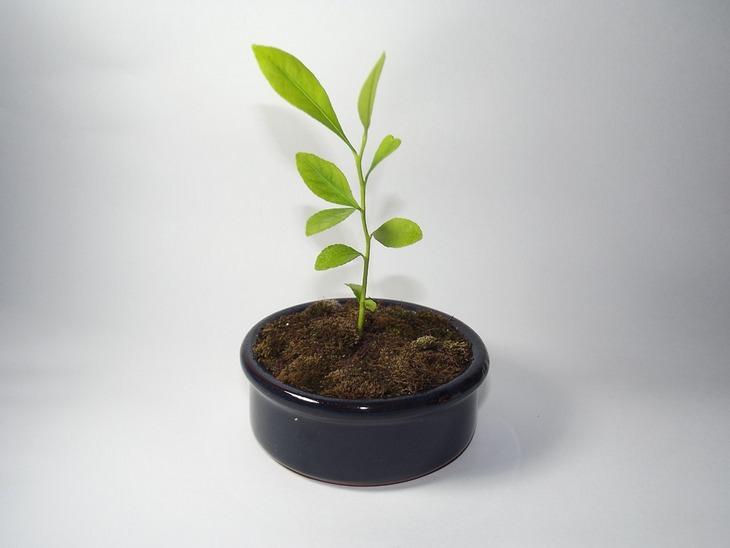 גדל זאת בעצמך: שתיל של עץ בתוך עציץ שחור