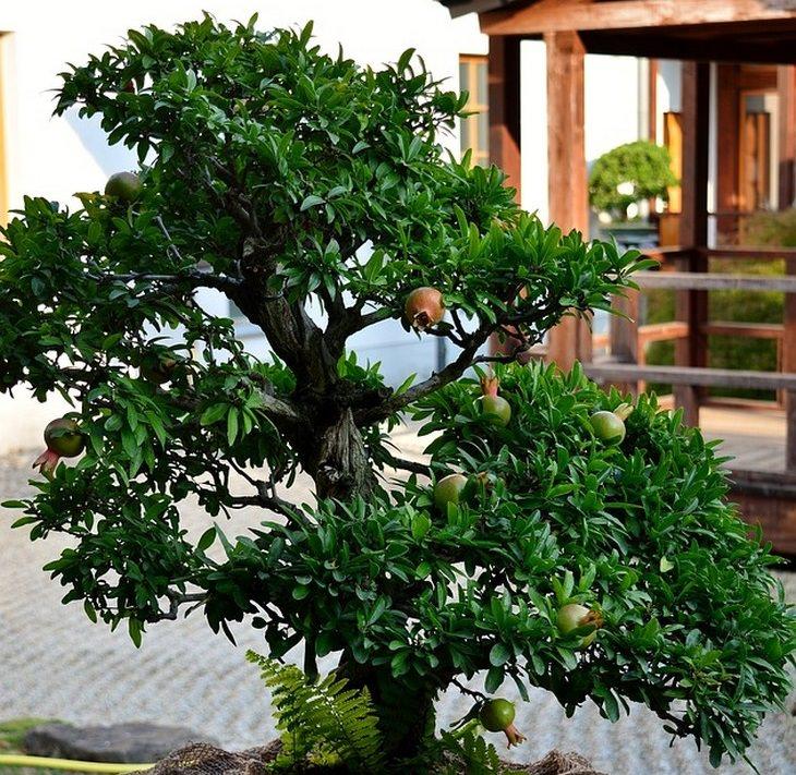 גדל זאת בעצמך: עץ רימון נמוך בחצר בית