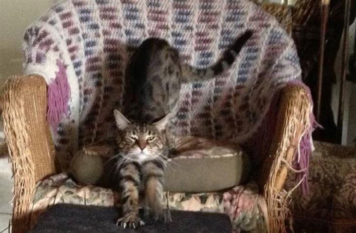 """איך חתול אומר """"אני אוהב אותך""""?: חתול שורט שולחן עץ בציפורניו"""