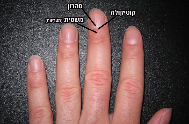 כך ציפורניים ארוכות וחזקות: כף יד עם הסבר על מיקום חלקי הציפורן