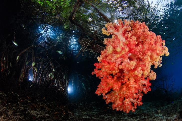 16 התמונות היפות ביותר שצולמו מתחת למים בשנת 2018: אלמוג רך צומח על שורשי צמח המנגרובים, צולם בראג'ה אמפט שבאינדונזיה