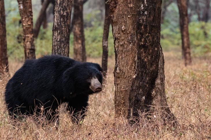 תצלומים של הדר מנור מהודו: דוב שפתני ניצב בסמוך לעץ
