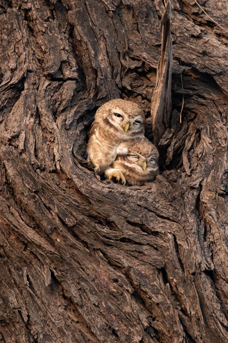 תצלומים של הדר מנור מהודו: שני ינשופים מתחככים זה בזה על גזע עץ