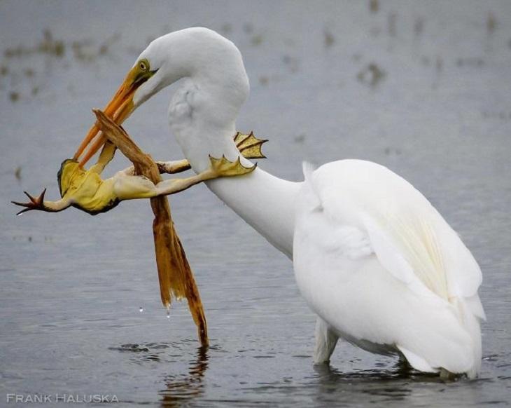 תמונות מתחרות אינסטגרם של נשיונל גאוגרפיק: אנפה תופסת במקורה צפרדע