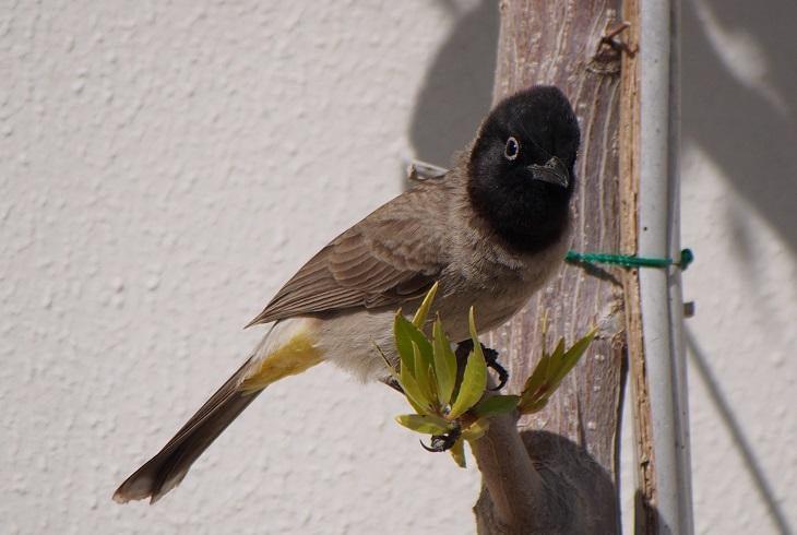 ציפורים בישראל באביב: בולבול צהוב-שת