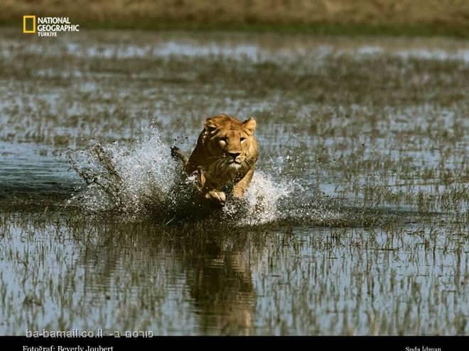 אריה,תמונות מדהימות מהנשיונל ג'אוגרפיק