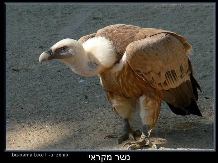 עופות דורסים, טבע, נשר המקראי