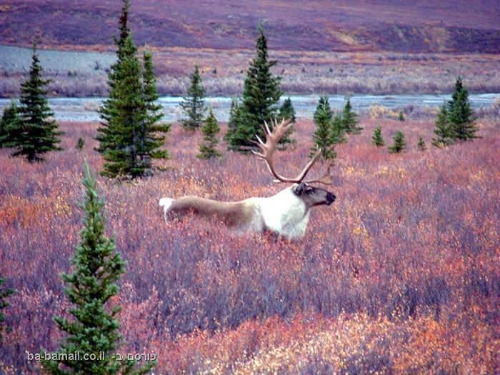 אלסקה, תמונות מדהימות, אייל