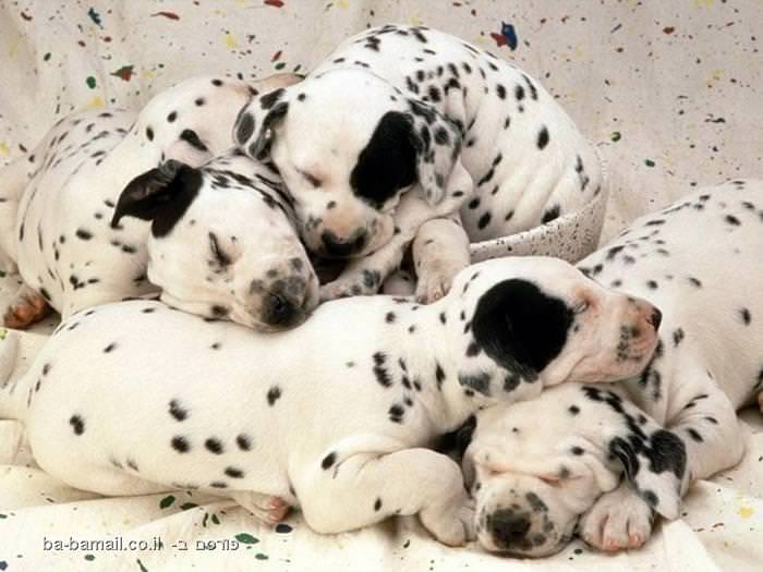 חיות, ישנות, לישון, חיות רדומות, חמוד, מתוק, כלב, כלבים, דלמטי, דלמטים, גור, גורים