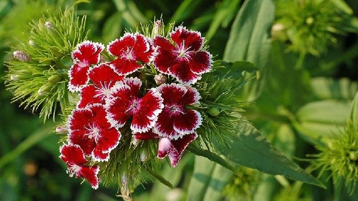 מדריך לגידול פרחים: ציפורן