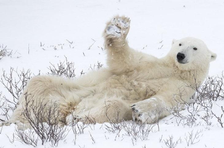 חיות מצחיקות: דב קוטב שוכב בשלג