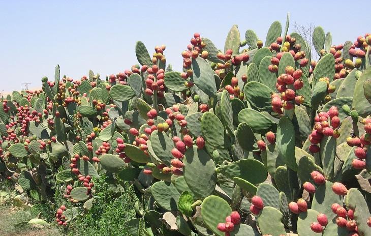 יתרונות בריאותיים של סברס: צמח צבר
