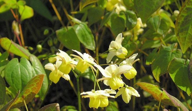 טיפול טבעי באין אונות: צמח אפימדיום