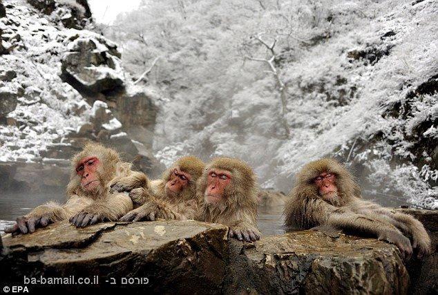 קופי השלג, אמבטיה חמה