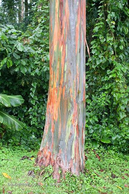 עץ אקליפטוס הקשת