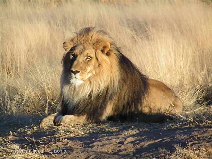 חיות, חיה, חיות מהירות, מהירות, טורפים, שיאים, אריה, אריות