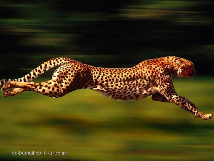 חיות, חיה, חיות מהירות, מהירות, טורפים, שיאים, צ'יטה
