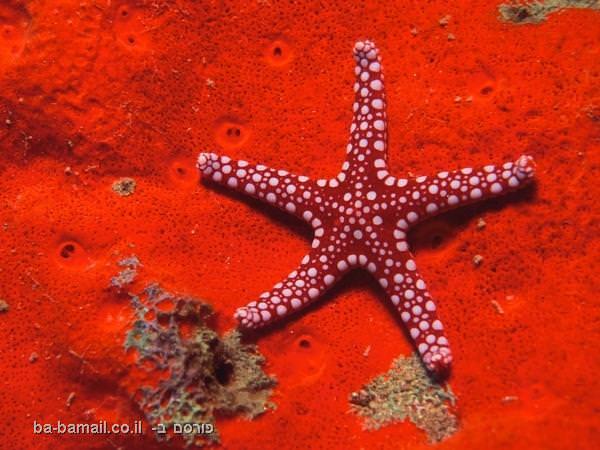 כוכב ים אדום עם נקודות לבנות