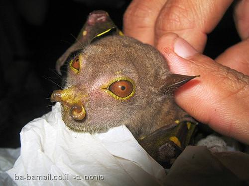 זן חדש של עטלף שהתגלה לאחרונה באפריקה