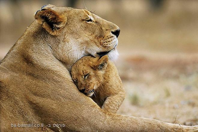 לביאה והגור שלה, שמורת הטבע פילנסברג, דרום אפריקה