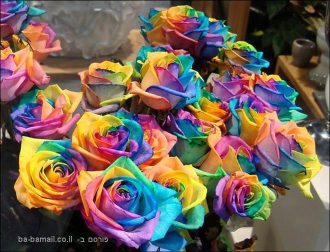 ורדים, פרחים, צבעים, הולנד