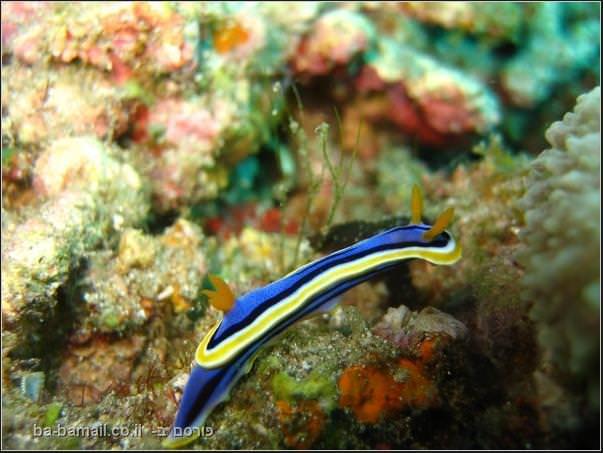חלזון ים, תת ימי, צילום