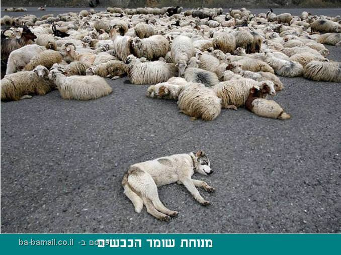 קווקז, גאורגיה, אזרבייג'אן, כבשים, כלב