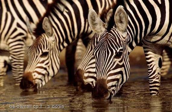 חיות באגם - תמונות מדהימות, זברה, זברות