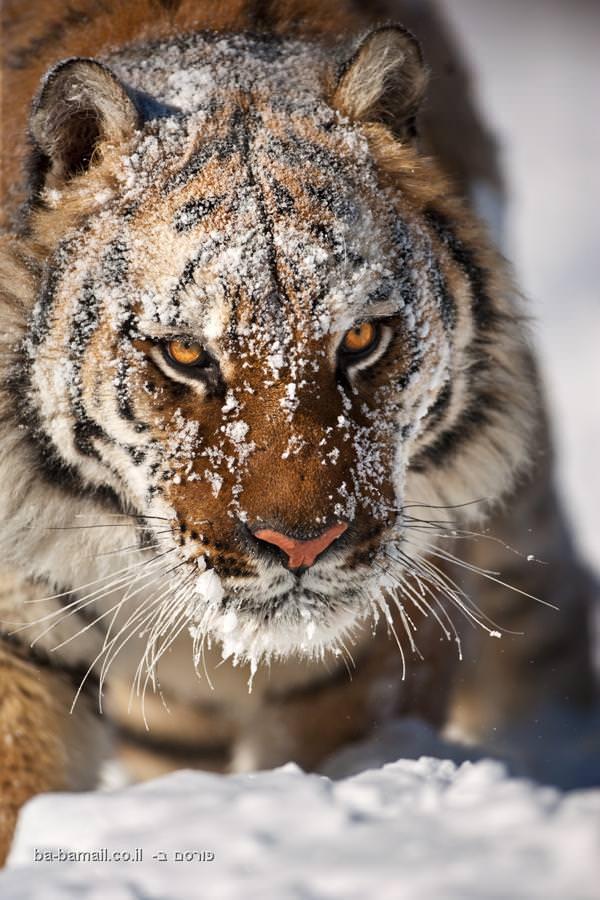 חיות, תמונות, מדהים, דרמטי, חיות, בעלי חיים, טבע, נמר, נמרים