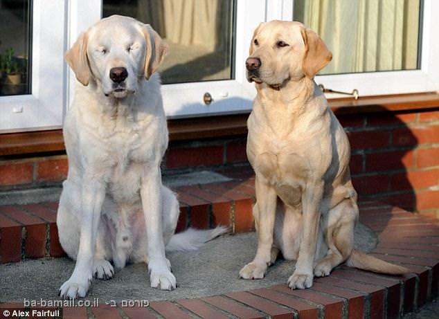 כלב נחיה עם כלב נחיה