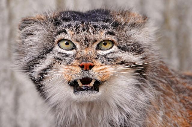 חתולי פאלאס
