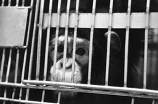 קופים בכלוב