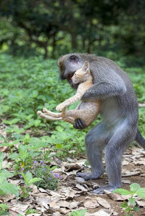 קופים מאמצים חתול
